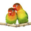 Icon of Lovebird